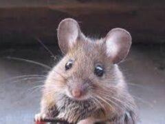 Нехватка одного белка помешала старым мышам справиться с болезнью Паркинсона