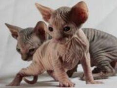 Бесшерстные домашние кошки