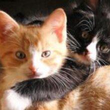 Стафилококк, лишай и токсоплазмоз: какими болезнями можно заразиться от кошек