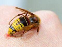 Укусы пчел и ос: спасаемся от «яда» насекомых