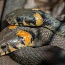 В Киеве активизировались змеи