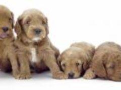 Контакт с щенками может быть опасен для человека, — ученые