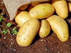 Врачи раскрыли пользу картофеля при гипертонии